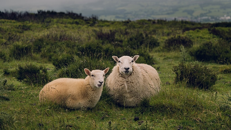 07 Wildlife-men-scotland-schottland-sheep-on-gras