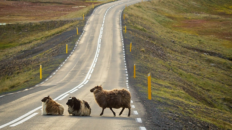 14 Wildlife-men-iceland-island-asphalt-countryside-sheep-crossing